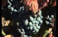 Casi 3.000 proyectos de reestructuración del viñedo aprobados en Albacete