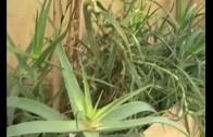 El Aloe Vera, cada vez más demandada