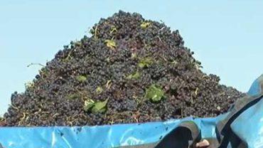 Castilla La Mancha pierde 2.000 hectáreas de viñedo