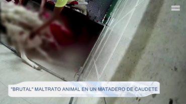 «Brutal» maltrato animal en un matadero de Caudete