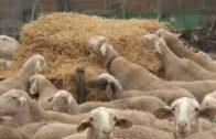 2017 ha sido un mal año para la leche de oveja