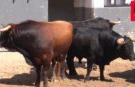 Los toros de Daniel Ruiz, bajo sospecha sanitaria