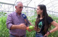 Los invernaderos comienzan a recolectar pepinos y tomates