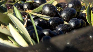 #03 Sobre el Terreno   Sierra de Alcaraz, el gran olivar de Castilla-La Mancha