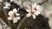 Los almendros en flor, bella estampa en la provincia
