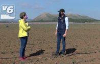 El brócoli, cultivo de temporada en Hellín y Motilleja, es un superalimento