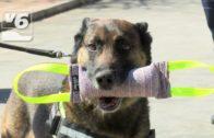 Exhibición de la unidad canina en la Policía Local de Albacete para mostrar su utilidad
