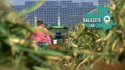 SOBRE EL TERRENO | Visitamos una explotación de Ajo en Balazote